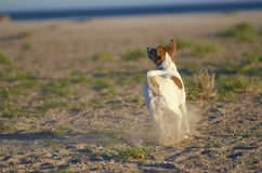 Mongrell dog, Podenco, Jack Russel terrier running on a beach Stock Photography