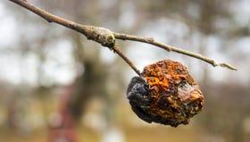 Moniliosis, une maladie des arbres fruitiers menant à la destruction de la culture photographie stock