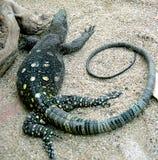 Moniteur 2 de crocodile Photo libre de droits
