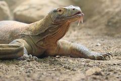 Moniteur de Komodo Photographie stock libre de droits