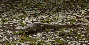 Moniteur du Nil dans une lagune Image libre de droits