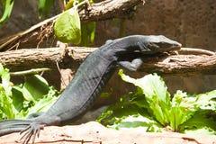 Moniteur noir (komaini de salvator de Varanus). Images libres de droits