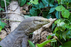 Monitir lizard Stock Photos