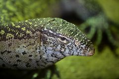 Monitor African Lizard. Animals and wildlife from reptils in Africa, Monitor Lizard royalty free stock photo