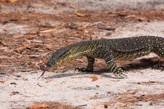 Monitor australiano de Goanna/del cordón (varius del Varanus) Foto de archivo libre de regalías