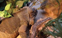 Monitor da rocha e lagarto chapeado gigante Fotos de Stock Royalty Free