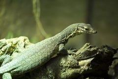 Monitor de Timor, timorensis del Varanus, pequeñas vidas endémicas en la isla de Timor Fotografía de archivo libre de regalías