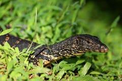 Monitor dell'attività dell'acqua o drago di acqua asiatico nello Sri Lanka Fotografia Stock Libera da Diritti