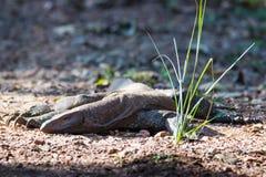 Monitor-Eidechse auf Waldboden Stockfoto