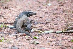 Monitor-Eidechse auf Waldboden Lizenzfreie Stockfotografie