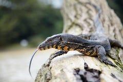 Monitor jaszczurka na drzewnym bagażniku Obraz Stock