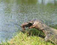 Monitor jaszczurka - Varanus na zielonej trawy ostrości na varanus oku zdjęcie stock