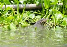Monitor jaszczurki dopłynięcie w wodzie Obraz Royalty Free