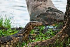Monitor jaszczurki jęzoru prztyczek, lumphini park, Bangko Obraz Stock