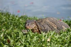 Monitor jaszczurki pięcie od wody także zna jako gigantyczny monitor Zdjęcie Royalty Free