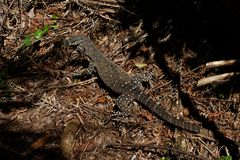 Monitor jaszczurki varanus w Australijskim tropikalnym lesie deszczowym zdjęcia royalty free