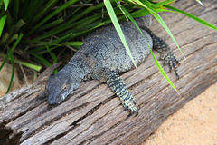 Lace monitor. Monitor lace lizards in sun, queensland, australia Stock Photography