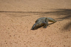 Monitor Lizard. A monitor lizard wanders onto the field of play royalty free stock photography