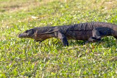 Monitor Lizard. A monitor lizard scurrying away Stock Images