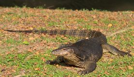 Monitor Lizard. A monitor lizard basking in the late afternoon sun along the river bank stock photography