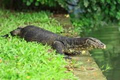 Monitor lizard. A banded monitor lizard on grass (varanus salvator royalty free stock photos