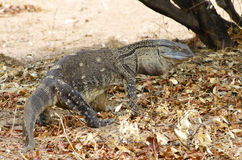 Monitor Lizard. In the Ruaha National Park, Tanzania Stock Images