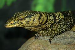 Monitor Lizard Stock Image