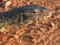 Monitor Lizard stock photo