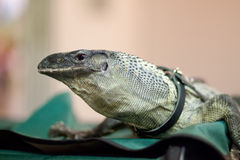 Monitor lizard. At the pet show royalty free stock image