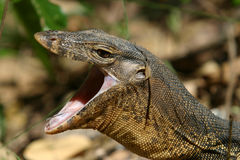 Monitor Lizard royalty free stock images