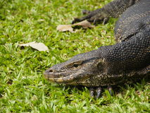 Monitor lizard. An asian water monitor.it's appear in park at Bangkok.I want to close up a texture on its head stock images