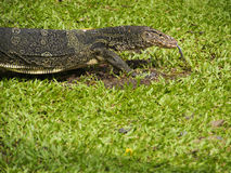 Monitor lizard. An asian water monitor.it's appear in park at Bangkok.I want to close up a texture on its head royalty free stock photography
