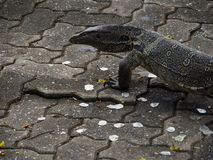 Monitor lizard. An asian water monitor.it's appear in park at Bangkok.I want to close up a texture on its head royalty free stock image