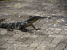 Monitor lizard Royalty Free Stock Photography