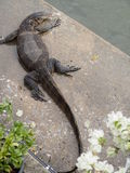 Monitor lizard. An asian water monitor.it's appear in park at Bangkok.I want to close up a texture on its head royalty free stock photos