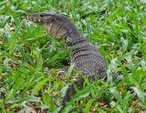 Monitor Lizard in Bangkok Stock Photos