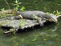 Free Monitor Lizard Basking In The Sun Royalty Free Stock Photos - 48757888