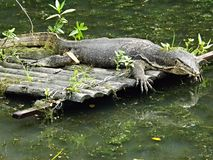 Monitor lizard basking in the sun Royalty Free Stock Photos