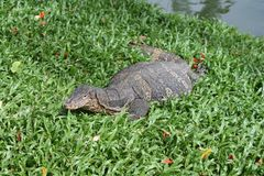 Monitor lizard climbing from the water also know as giant monitor. Monitor lizard climbing from the water also known as giant monitor lizards background with royalty free stock photos