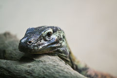 Monitor lizard close-up. Closeup of a monitor lizard with forked tongue Royalty Free Stock Images