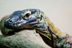 Monitor lizard close-up Stock Images