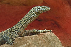Monitor Lizard. Close up detail of Perente Monitor Lizard Royalty Free Stock Image