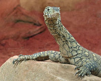Monitor Lizard. Close up detail of Perente Monitor Lizard Royalty Free Stock Images