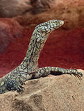 Monitor Lizard. Close up detail of Perente Monitor Lizard Stock Photography