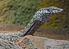 Monitor Lizard. Close up detail of Perente Monitor Lizard Stock Image