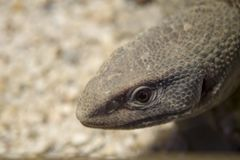 Monitor lizard close up photo.The monitor lizards are large liza royalty free stock photography