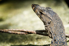 Monitor lizard closeup Royalty Free Stock Photo