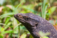 Monitor Lizard closeup Royalty Free Stock Images