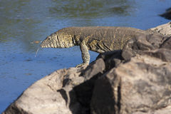 Monitor lizard on the coast of the African river with his tongue hanging out. Kenya royalty free stock photos
