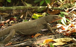 Monitor lizard. Crawling on the ground in the jungle Stock Images